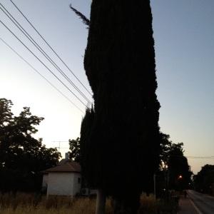 ברוש לבדו מול עמוד חשמל